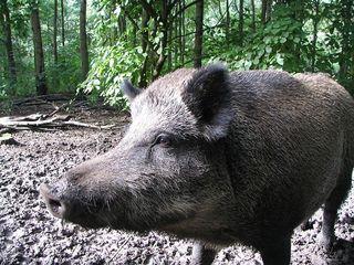 Wildschwein
